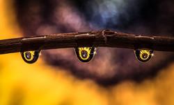 Sunflower Drops