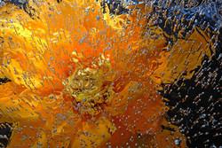 Iced Chrysanthemum