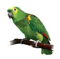 parrot-lovebird-red-lored-amazon-red-cro