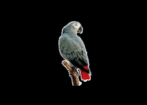 grey.parrot.perch.png
