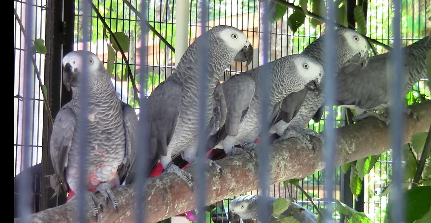 grey.parrots