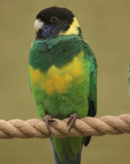 Port Lincoln Parakeet