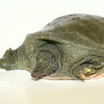 Soft-Shell Turtle