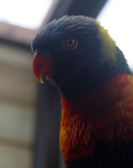 Rainbow Lorikeet (Swainsons)