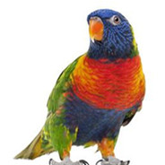 Swainsons Lorikeet