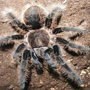 Honduran Spider
