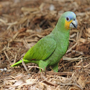 Orange-Winged Amazon