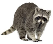 American Raccoon