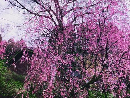 女性らしさとは何かを桜から学んだ事とは?