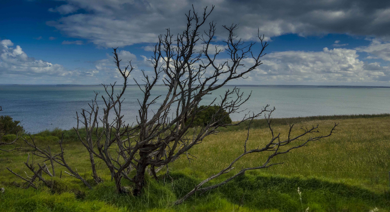 Phillip island-dead tree
