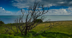 Phillip island-dead tree