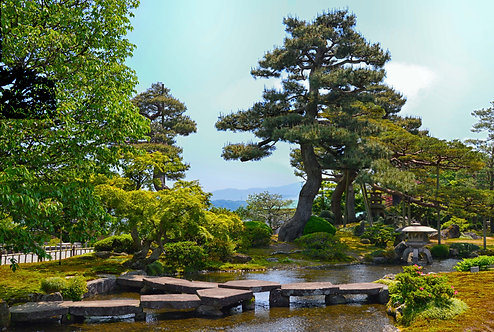 Japan Pine