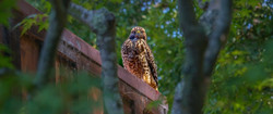 Hawk on Roof