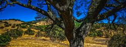 Hills and Oak