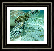 Close-Up-Green-Turtle-Belize-Framed-Prin