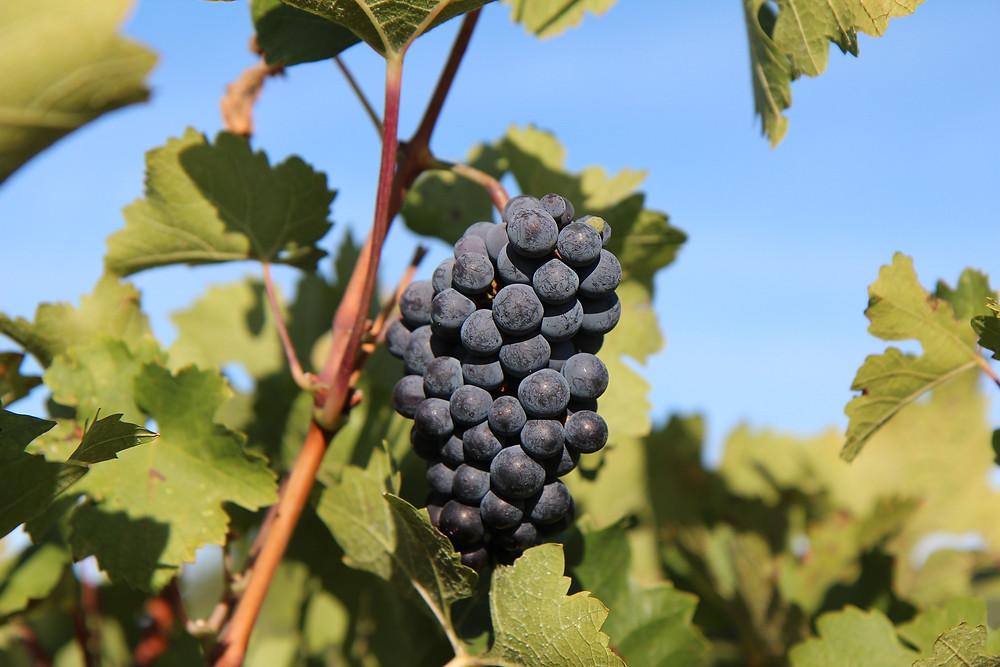 Teledetección con drones aplicada a la viticultura.