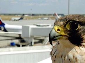 DRONES: Sustituirán a las aves rapaces de los aeropuertos