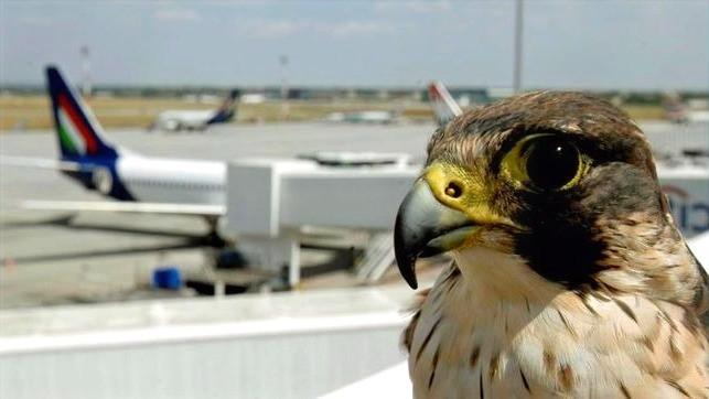 Halcón ahuyenta aves de Aeropuertos