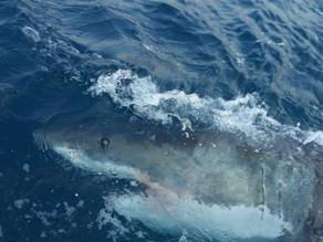 El gobierno australiano opta por los DRONES para monitorear a los tiburones en sus playas