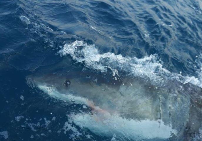 Drones para vigilar a los tiburones de Australia.