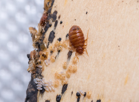 Feeling Itchy? Bed Bugs are Making a Come Back!