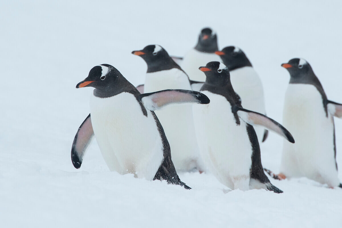 gallery_penguin2