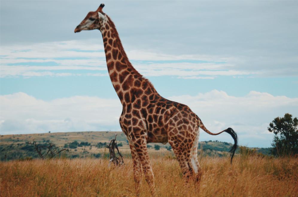 girafa-na-comunicaçao-nao-violenta