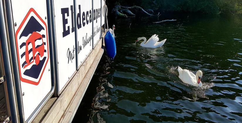 Schwäne im Schweriner See