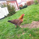 ... und aus Hühnchen wurde Huhn