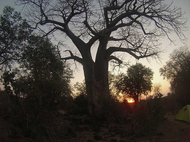 Baobab tree on The Kruger Trail.