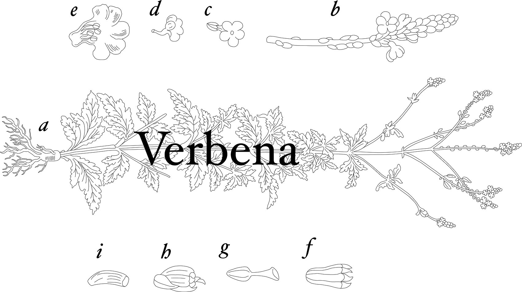 verbena2.jpg