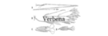 VERBENA-fondo-web.png