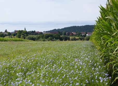 Lanena polja v Beli krajini
