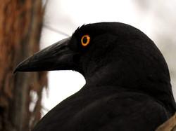 Tasmanian Currawong