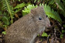 Tasmanian Potoroo