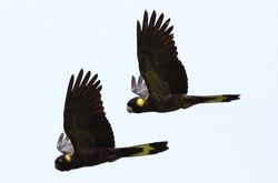Yellow Tail Cockatoo