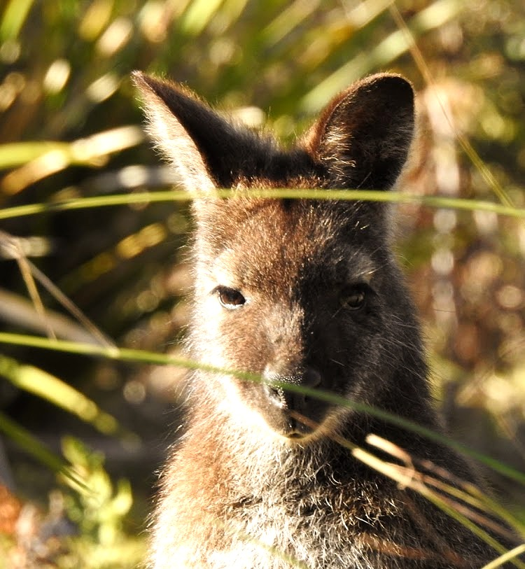 Bennet Wallaby