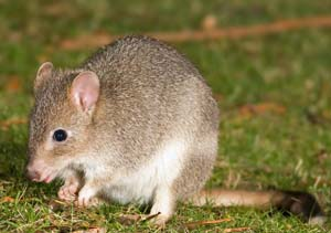 Bettongia gaimardi