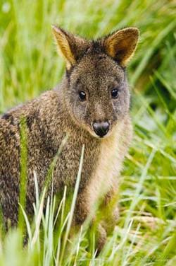 Pademelon Wallaby