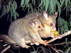 Brushtail Possum
