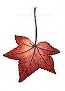sweetgum_leaf_200px.jpg