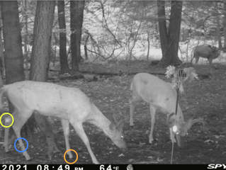 WHITETAIL DEER GLAND KNOWLEDGE: DO YOU KNOW THE 8 GLANDS?