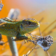 Тузловська рептилія. Прудка ящірка в пошуку павуків