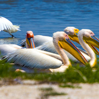 White pelican Ukraine (33).jpg