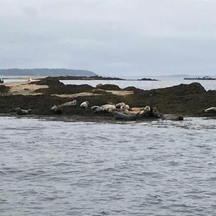 Harbor Seals of Casco Bay Maine