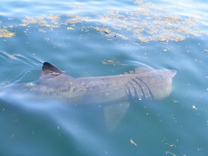 Basking Shark, Gulf of Maine