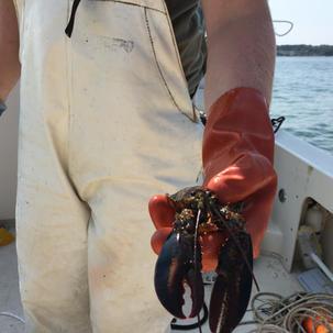 Lobstering