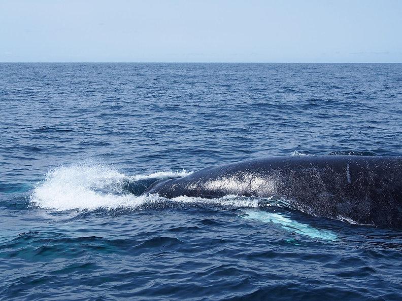 Maine Whale Watch Finback