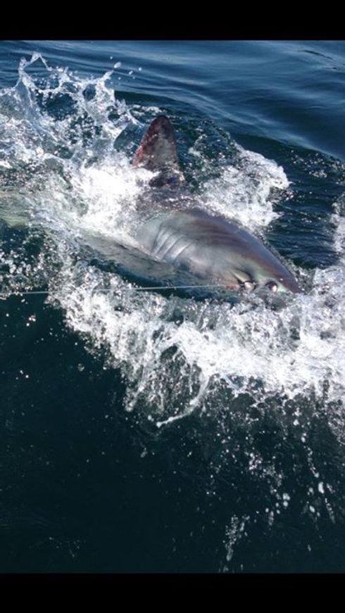 Porgbeagle Shark Fishing in Maine.jpg
