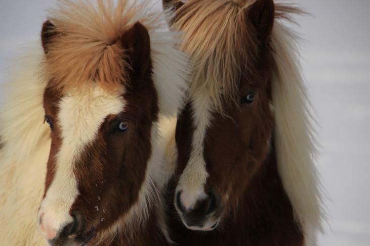 """""""Icelandic Horses"""" Iceland. 2018"""